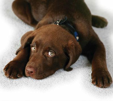 Pet Urine Odor Removal Chem Dry Carpet Cleaning